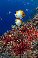 Slate pencil sea urchins, Heterocentrotus mammillatus, color the foreground of this Hawaiian reef scene with pyramid butterflyfish, Hemitaurichthys polylepis.  Hawaii.
