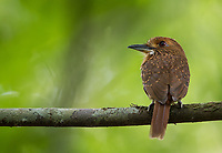 I usually see a few of these rotund little birds during my Costa Rica trips.