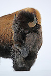 Frosty Bison in Winter