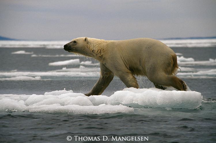 A polar bear walks across ice after a swim.