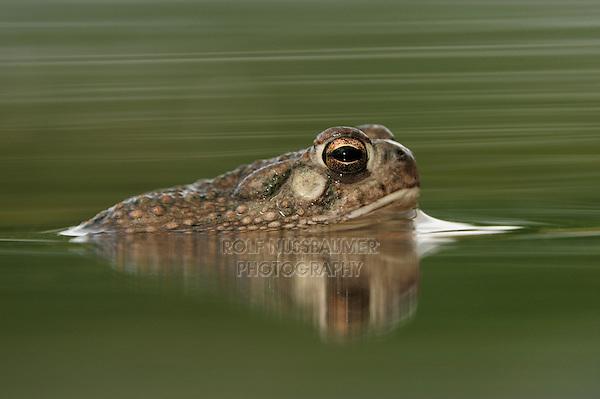 Texas Toad (Bufo speciosus), adult in pond, Laredo, Webb County, South Texas, USA