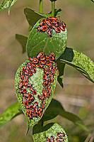 Schwalbenwurzwanze, Schwalbenwurz-Wanze, Schwalbenwurz-Ritterwanze, Larve, Larven, Nymphe, Nymphen fressen an Schwalbenwurz, Tropidothorax leucopterus, ground bug, lygaeid bug, larva, larvae, nymph, nymphs, Bodenwanzen, Langwanzen, Lygaeidae, milkweed bugs, seed bugs