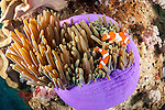 Triton Bay, West Papua, Indonesia; several Clown Anemonefish (Amphiprion percula) in a purple sea anemone