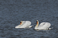 Mute Swans, San Angelo, TX