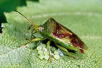 HE02-003a  Stink Bug - feeding on eggs - Elasmostethus spp.