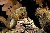 MA07-048z  Red Squirrel - looking at acorns in tree cavity - Tamiasciurus hudsonicus