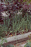 11798-CQ Bermuda Onions, Allium cepa, edible vegetable in raised bed by roses, in March, at Bakersfield, CA USA.