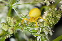 Veränderliche Krabbenspinne, Weibchen, Krabben-Spinne, Misumena vatia, goldenrod crab spider, flower crab spider, female, Krabbenspinnen, Thomisidae, crab spiders