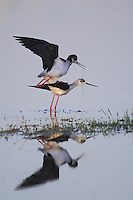 Black-winged Stilt, Himantopus himantopus, pair mating, National Park Lake Neusiedl, Burgenland, Austria, April 2007