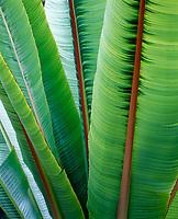 Banana Plant Tree Leaves, Hawaii, USA.