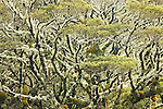 The South Island of New Zealand contains many microenvironments. This mountain forest, high in the Alps, is rich with life. A layer of moss and lichen, which provides food and shelter for the smallest creatures, encases each tree trunk and limb.
