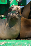 San Diego Bay, San Diego, California; California Sea Lions (Zalophus californianus) haul out of the water on a green channel marker buoy