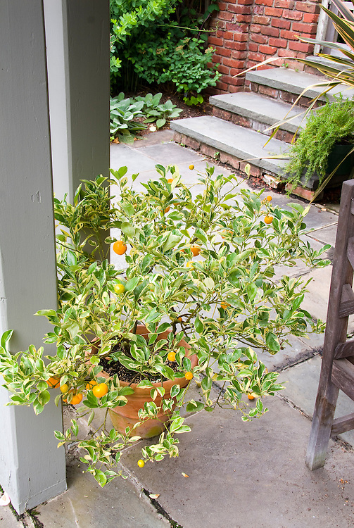 Variegated citrus in pot container on stone patio near brick wall with house steps, food plant oranges edibles in container garden