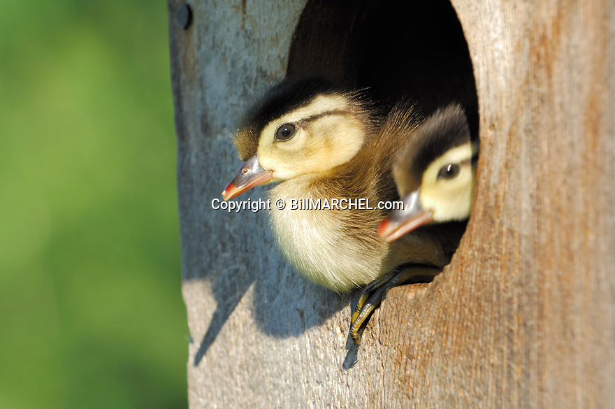 00360-095.03 Wood Duck: Two ducklings are about to leap from entrance to wood duck nesting box.  Young, down, cute.  H4L1