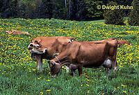 SH04-021z  Cow - Jersey cows