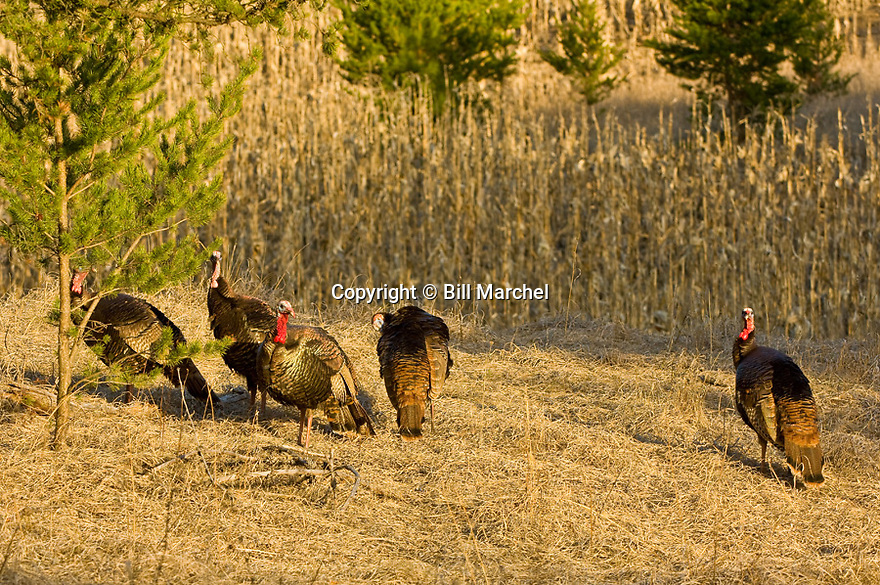 01225-095.11 Wild Turkey: Five jakes are in meadow on edge of cornfield duirng early spring.  Hunt, red, breed, gobble, strut, young, color, feed.