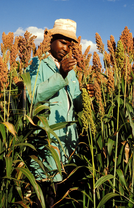East Africa.  Local agronomist examines sorghum crop almost ready for harvest..