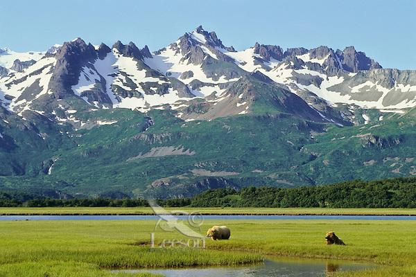 Grizzly Bears or Coastal Brown Bears grazing in sedge meadows near the ocean on the Alaskan Peninsula.