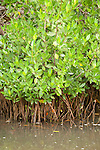 Ding Darling National Wildlife Refuge, Sanibel Island, Florida; Red Mangroves (Rhizophora mangle) at Red Mangrove Overlook © Matthew Meier Photography, matthewmeierphoto.com All Rights Reserved