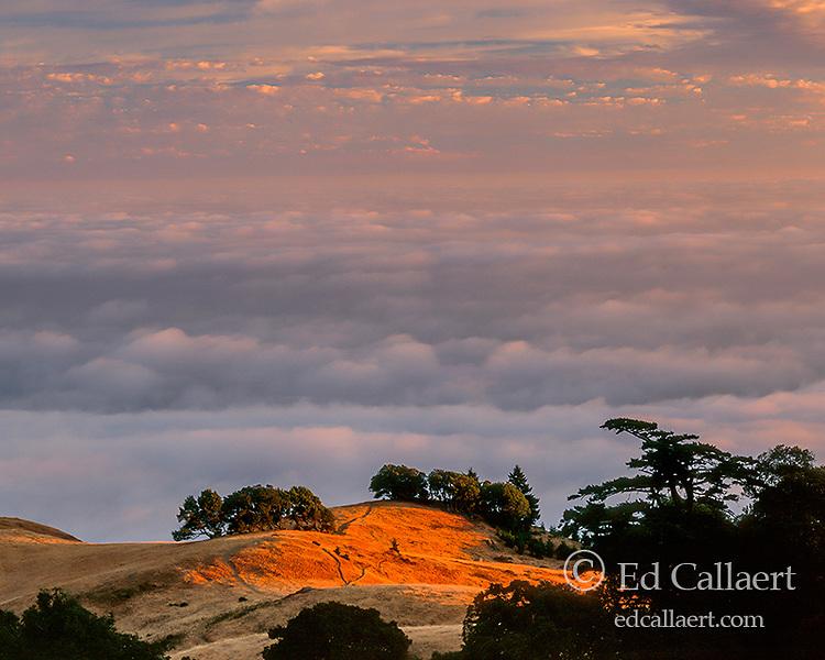 Cypress, Sunset, Bolinas Ridge, Mount Tamalpais State Park, Golden Gate National Recreation Area, Marin County, California
