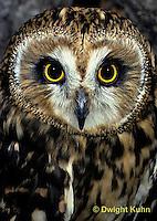 OW05-084z  Short-eared owl - Asio flammeus