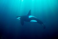 Killer whale, Orcinus orca, Norway, Atlantic Ocean