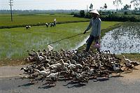 Entenherde, Setzen von Reispflanzen in Zentralvietnam, Vietnam