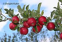 AT02-504z   Apples, Cortlands