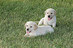Yellow Labrador retriever (AKC) puppies lying in the grass