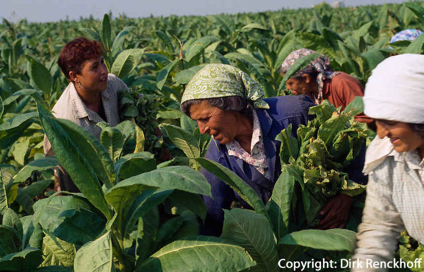 Tabakernte bei Vraza, Bulgarien,
