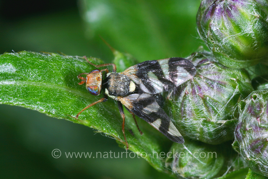 Distel-Bohrfliege, Distelbohrfliege, Bohrfliege, Urophora cardui, Canada thistle gall fly, Bohrfliegen, Tephritidae, gall flies