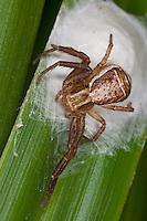 Krabbenspinne, Sumpf-Krabbenspinne, Sumpfkrabbenspinne, Weibchen bewacht Eikokon, Kokon, Xysticus ulmi, Swamp crab spider, Krabbenspinnen, Thomisidae, crab spiders