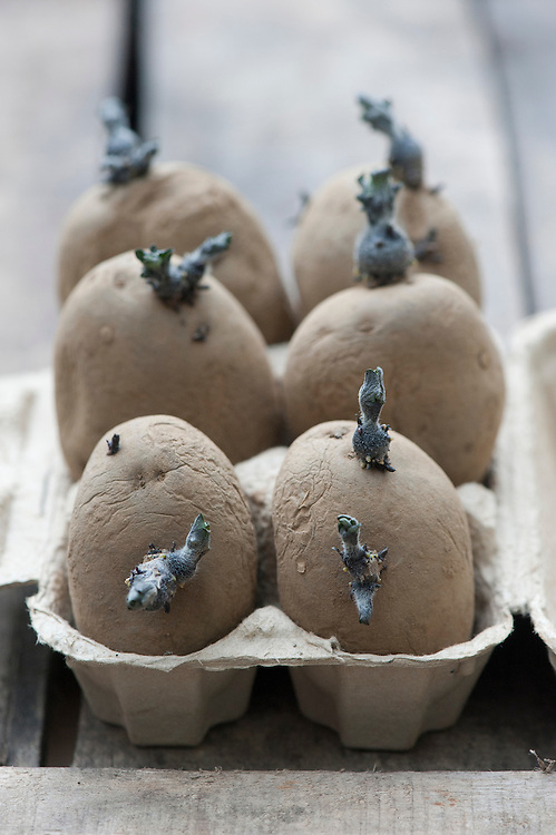 Seed potatoes chitting in an egg carton.
