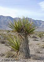 1202-0870  Mojave yucca (Spanish Dagger) in Mojave Desert, Yucca schidigera  © David Kuhn/Dwight Kuhn Photography