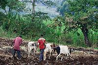 KENYA, County Bungoma, village Sikimbilo, farmer plow soil with cattle / Bauern pfluegen mit Ochsen, um Ersosion zu vermeiden, muessen die Furchen laengs des Hangs gepfluegt werden