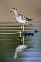 Lesser Yellowlegs wading in a marsh