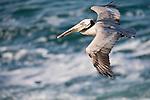 La Jolla Cove, San Diego, California; a Brown Pelican (Pelecanus occidentalis) bird flies over the Pacific Ocean