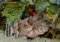 "0109-08ss  Spotted Scorpionfish ""Venomous Spines on Fish"" - Scorpaena plumieri  © David Kuhn/Dwight Kuhn Photography"