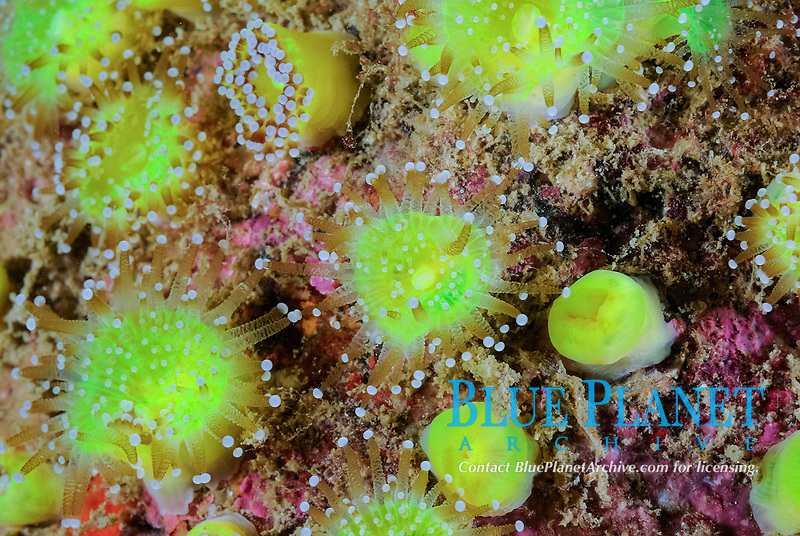 Colony of jewel-anemone, Corynactis viridis, Bay of Morlaix, off Carantec, North of Brittany, North of France, Atlantic Ocean, Europe