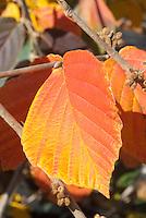 Hamamelis x intermedia 'Diane' fall foliage