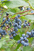 Ripe Blueberries, ready to pick, Vincentown, New Jersey