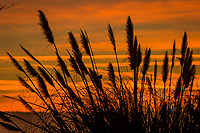 Sunset's glow with streaks of orange and muted blue-gray clouds silhouette pampas grass with the outline of a single bird on a winter evening.