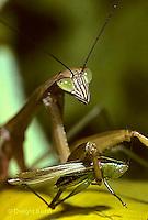1M39-003z   Praying Mantis adult consuming insect prey -  Tenodera aridifolia sinensis ©Dwight Kuhn