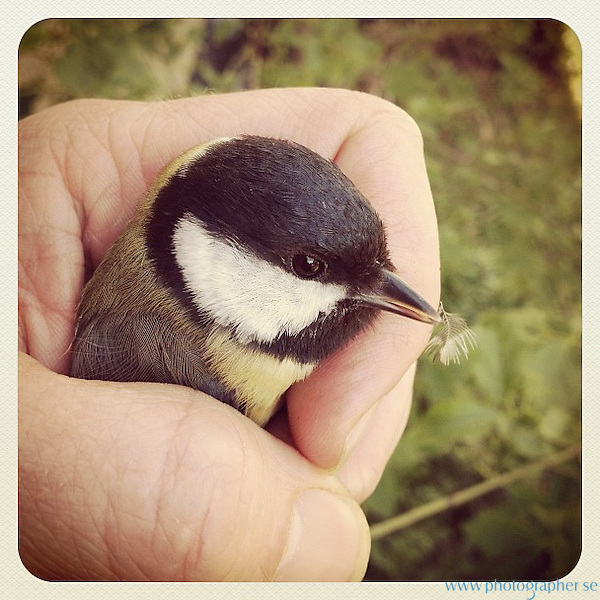 Saved a Great Tit yesterday