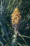 9729-AI Bromeliad in fruit, Heart-of-Flame, Bromelia balansea, at Huntington Gardens