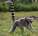 """16/05/16<br /> <br /> """"I think I'll just cling on to mum as tight as I can...""""<br /> <br /> Three baby ring-tail lemurs began climbing lessons for the first time today. The four-week-old babies, born days apart from one another, were reluctant to leave their mothers' backs to start with but after encouragement from their doting parents they were soon scaling rocks and trees in their enclosure. One of the youngsters even swung from a branch one-handed, at Peak Wildlife Park in the Staffordshire Peak District. The lesson was brief and the adorable babies soon returned to their mums for snacks and cuddles in the sunshine.<br /> All Rights Reserved F Stop Press Ltd +44 (0)1335 418365"""