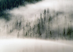 tall conifers in subalpine forests masked by clouds along the road to Ophir Pss, San Juan Mountains, Colorado, USA