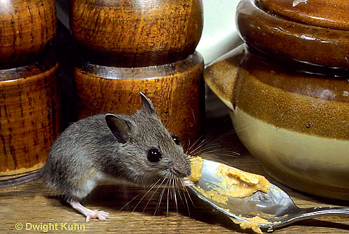 MU56-011z   Deer Mouse - immature young in kitchen  - Peromyscus maniculatus