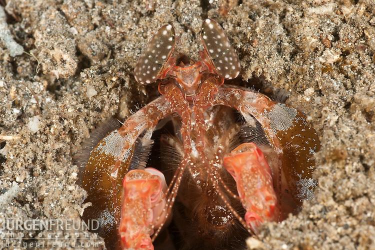 Spearing mantis shrimp (Lysiosquillina sp.)