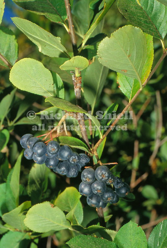 10985-CE Glossy Black Chokeberry, Aronia melanocarpa, edible fruit good in jam, at Mourning Cloak Ranch & Botanical Garden, Tehachapi, CA USA
